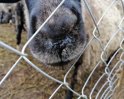 Після низки моторошних смертей в Україні змінили правила перевезення тварин