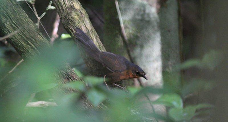Ученые нашли одну из самых редких и вымирающих птиц на планете