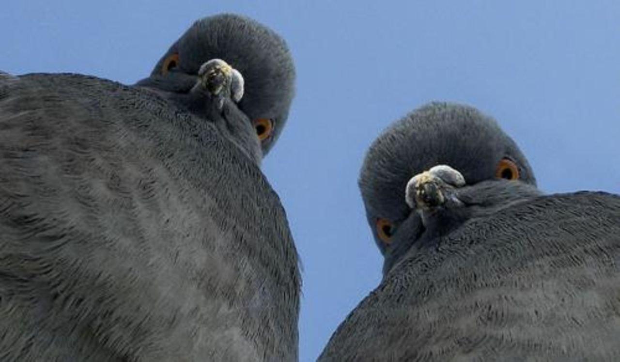 Картинки смешные голуби, для открыток день
