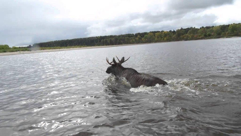Ничего необычного: как собака реку верхом на лосе переплывала