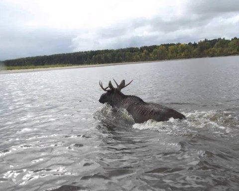 Нічого незвичного: як собака ріку верхи на лосі перепливала