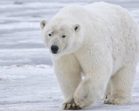 Голодный белый медведь испугал жителей российского города