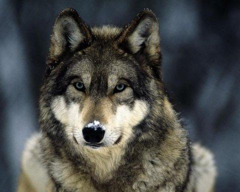 В России нашли голову доисторического волка: интересные подробности