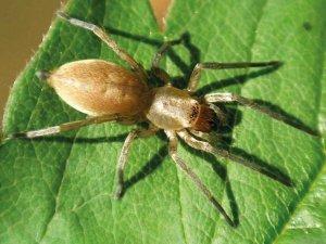 Укус вызывает осложнения: в Украине появился новый вид паука