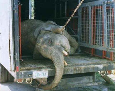 З'явилися фото жахливих умов транспортування циркових слонів у Росії