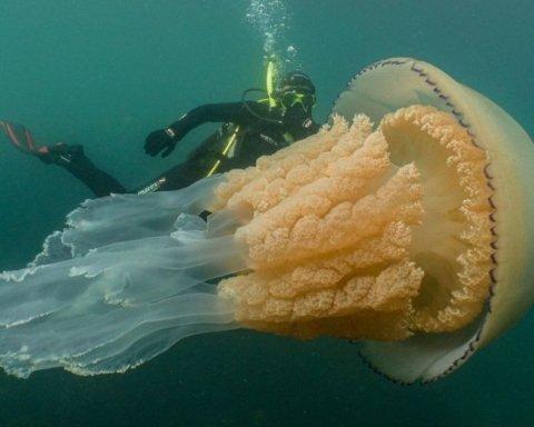 Гигантская медуза попала в камеры дайверов в водах графства Корнуолл: видео великана
