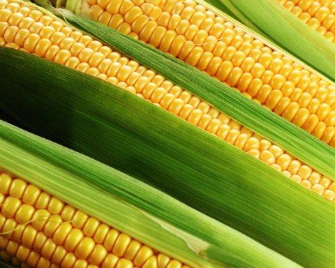 Дієтологи розповіли, кому категорично не можна їсти кукурудзу