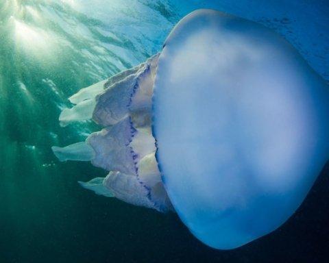 Дайверы наткнулись на гигантскую медузу: все попало на видео