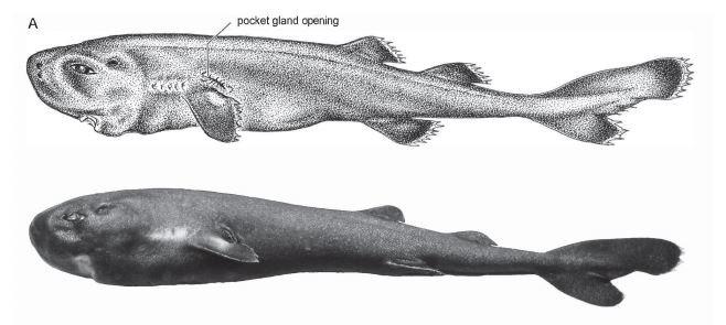 Крихітні та світяться у темряві: вчені відкрили новий вид акул