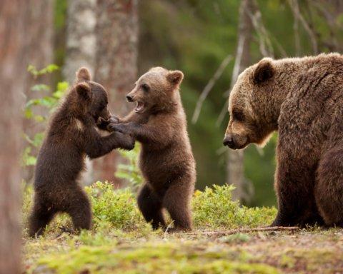 Вчені з'ясували, звідки у Чорнобильський заповідник прийшли ведмеді
