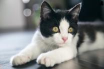 Вчені підтвердили, що кішки здатні виробляти антитіла до COVID-19