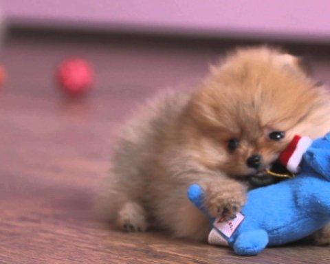 Государственный российский телеканал показал зрителям «собаку-гипнотизера»