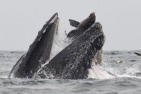 В Калифорнии кит проглотил морского льва: фотограф поймал это на камеру