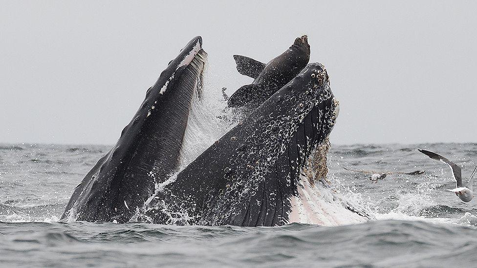 У Каліфорнії кит проковтнув морського лева: фотограф зловив це у кадр