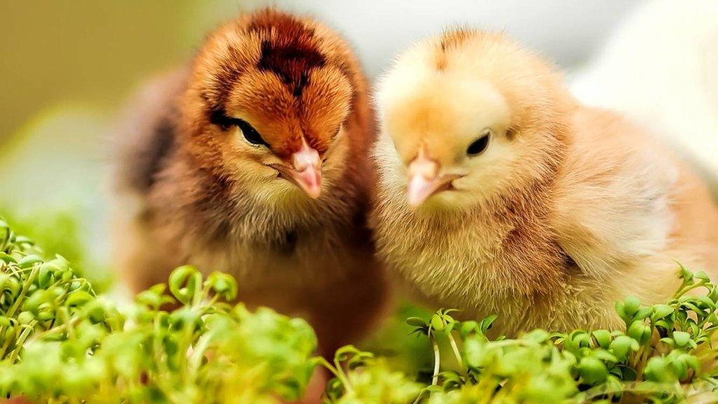 В Киевской области вспышка птичьего гриппа: объявлен карантин