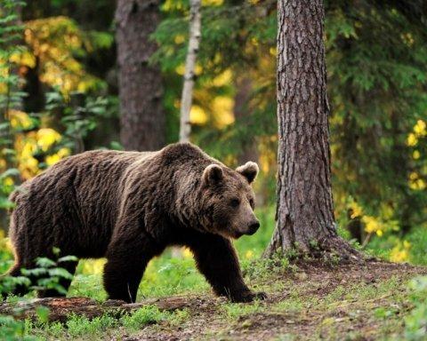 Ведмідь влаштував погром на кладовищі та викрав труп: деталі НП у Росії