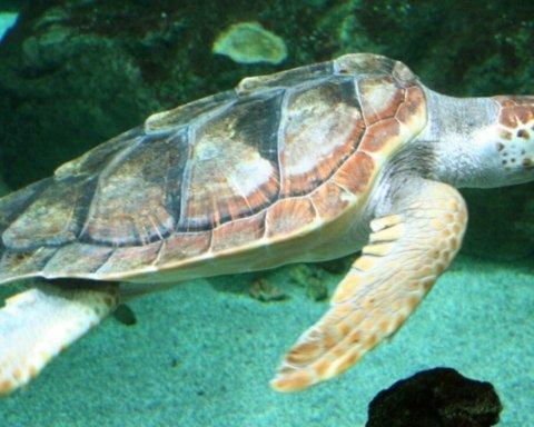 У США спіймали рідкісну двоголову черепаху
