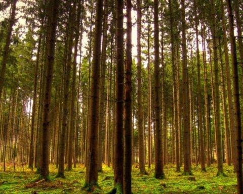 В Украине запретили посещать хвойные леса: что случилось