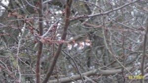 Тепла зима: у Київській області від аномальної температури розквітла сакура