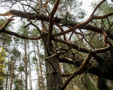 В Киеве дерево упало прямо на людей: фото и детали ЧП