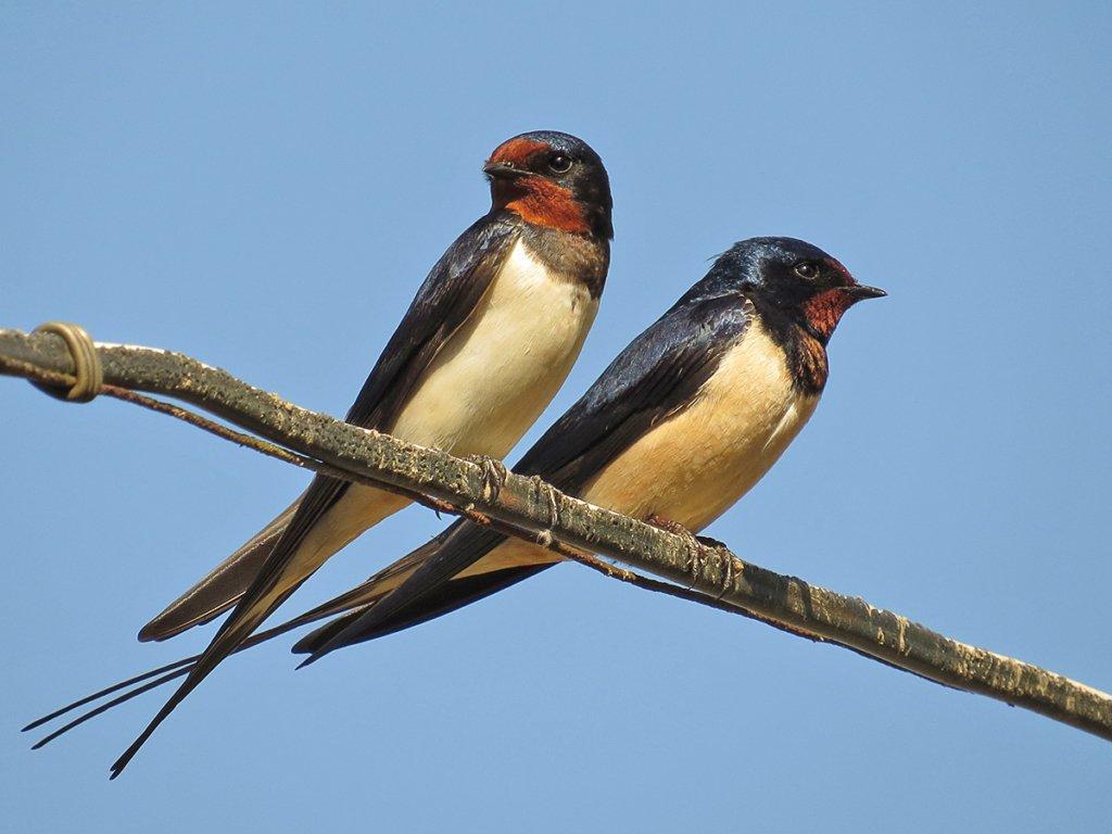 День Маврикия: в этот день ласточки на крыльях приносили весну