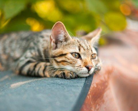 У США коронавірус знайшли у двох котів: що про це відомо