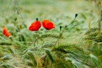 День пам'яті і примирення 8 травня: красиві поздоровлення і вірші