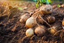 Картопля: як збільшити урожай і коли садити