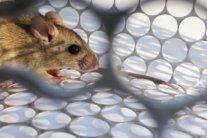 У Росії вперше виявили смертельний хантавірус