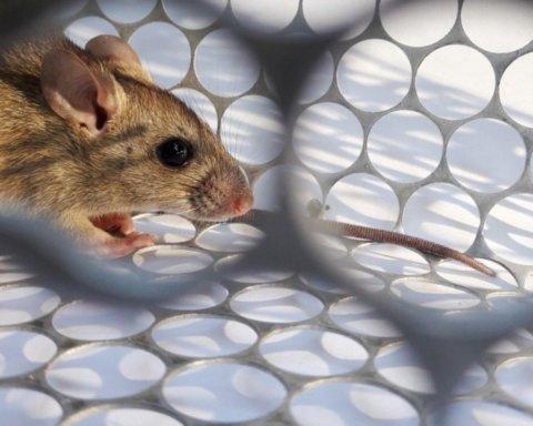 В России впервые обнаружили смертельный хантавирус