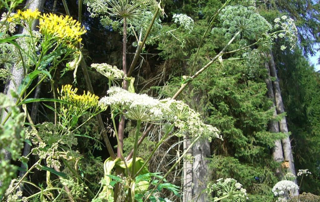 В Украине цветет ядовитая смертоносная растение: как она выглядит и как уберечься