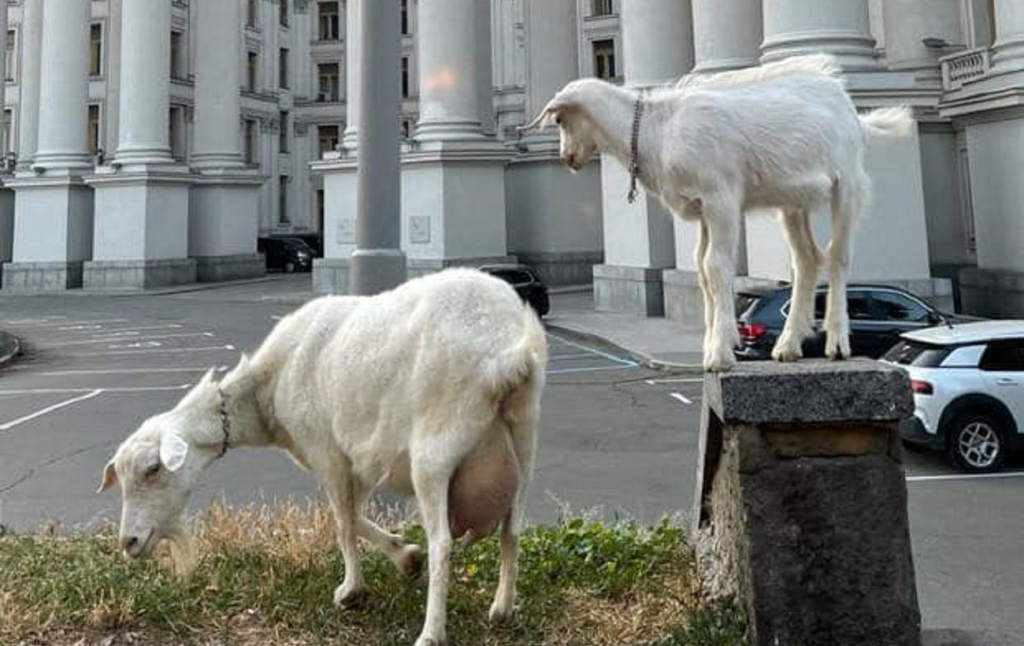 У центрі Києва кози паслися біля МЗС: курйозне фото