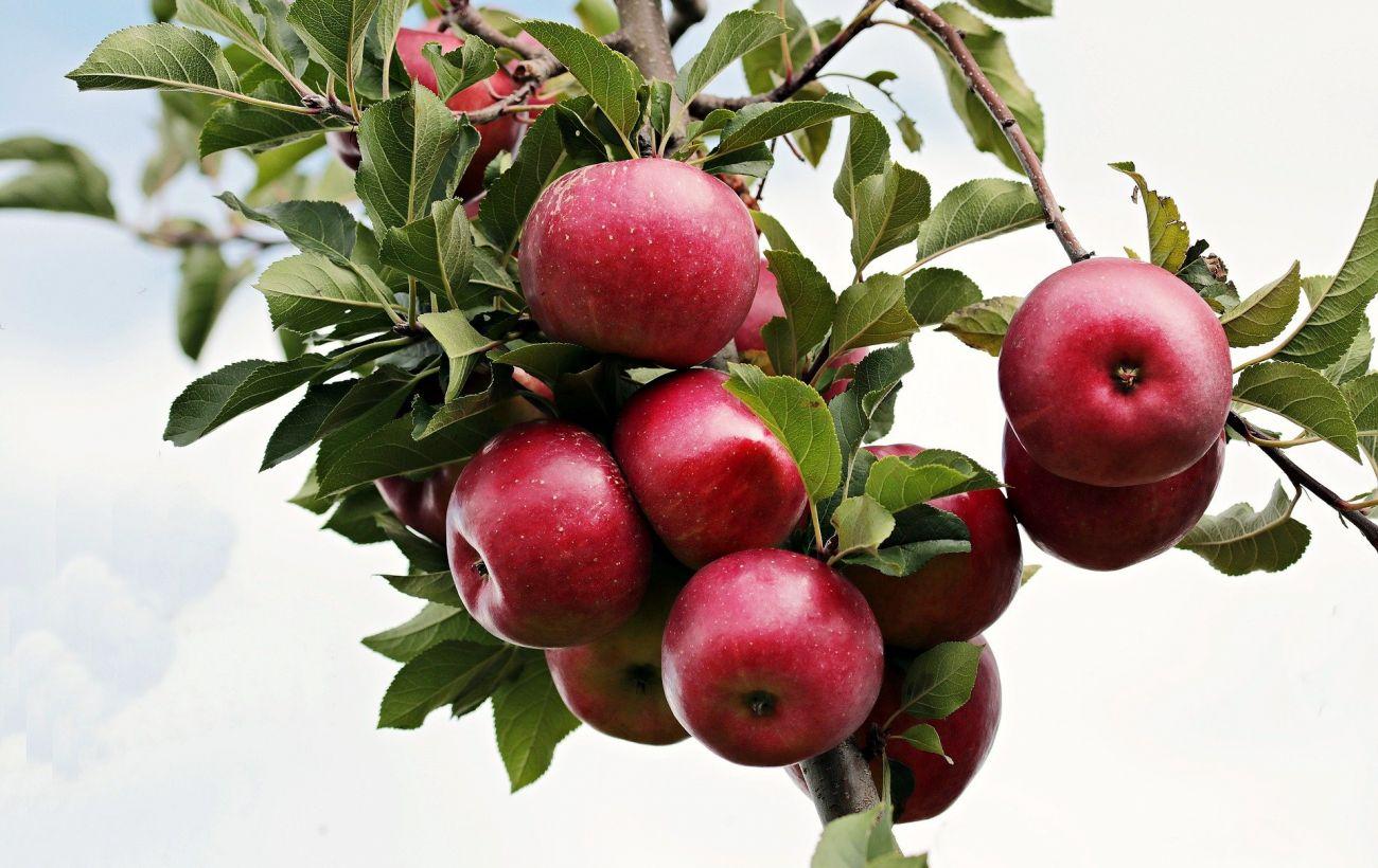 """В Україні ціни на яблука пробили трирічне """"дно"""": скільки коштують"""
