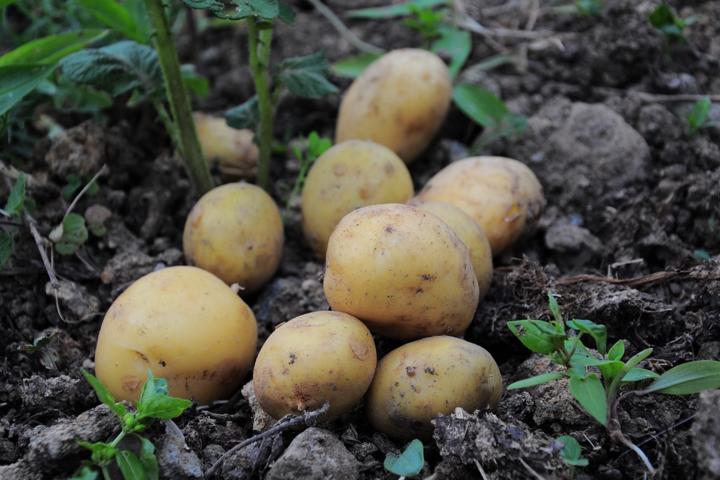 Картофельная предательство. Украина переходит на потребление российской клубни: свежие данные таможни